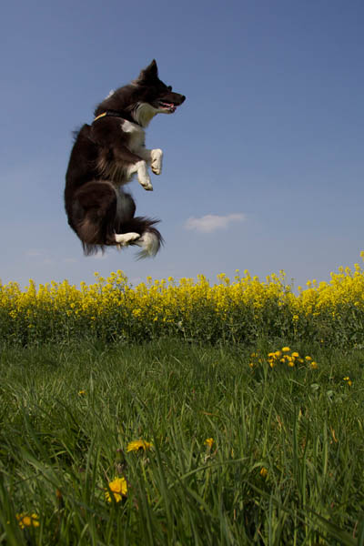 fliegender Border Collie
